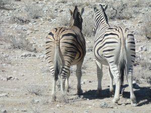Zebra Afrika
