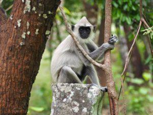 Witte aap Sri Lanka