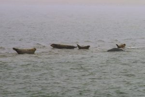 Zeehonden Texel